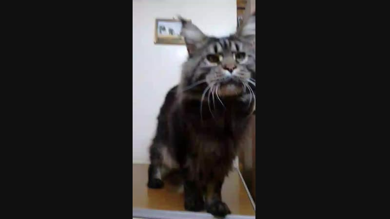 СH. Duncan, племенной кот нашего питомника ROMANTIK