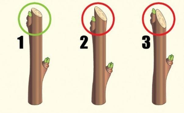 Как правильно обрезать смородину