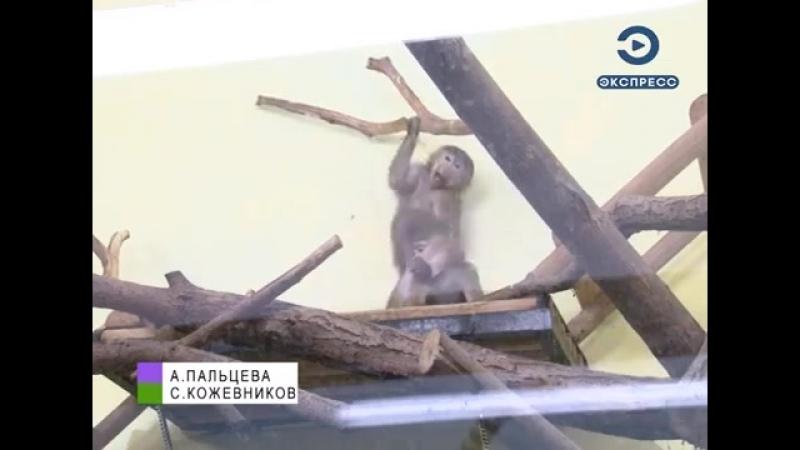 В пензенском зоопарке появились детеныши гамадрила