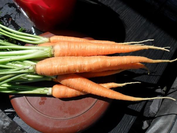 Как получить хороший урожай моркови Способ посадки в размеченные лунки используется, в основном, для дражированных семян. Выровненная и подготовленная грядка размечается с помощью специального