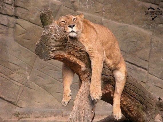 Услышала по телевизору, что взрослой львице требуется 20 часов на отдых каждый день...Я так и знала! Я - взрослая львица!