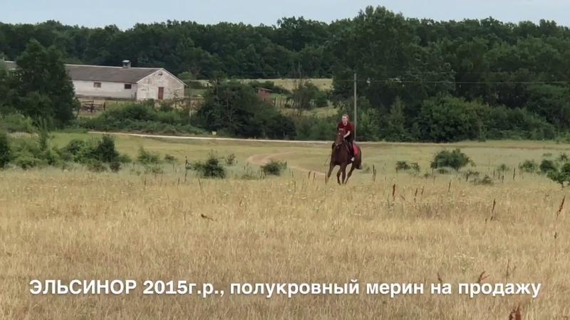 Продажа лошадей конефермы Эквилайн, тел., WhatsApp 79883400208 (мерин ЭЛЬСИНОР 2015г.р.)