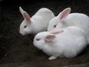 Пару слов о породе кроликов Паннон и почему я отказался от породы Калифорнийская