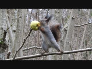 Белочка ест яблоко.