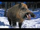 Охота. Кабан-Секач. Охотхозяйство Богородское Омская область. Hunting. Boar Cleaver.