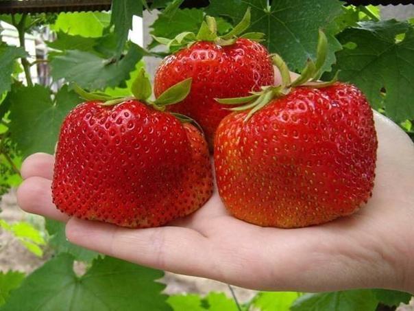 выращивание клубники: пять советов как получить хороший урожай. садовую землянику обычно называют клубникой, а еще по-старому викторией. ей подходит это имя: собирая урожай ароматных ягод, вы