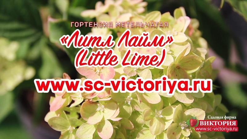 Гортензия метельчатая Литл Лайм (Little Lime)