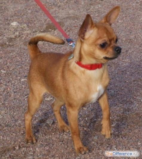 Разница между той-терьером и чихуахуа Проблема выбора оптимальной породы собаки является весьма актуальной для любителей животных. Многие приверженцы миниатюрных питомцев мечутся между