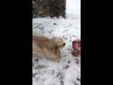 Денни и Ежевика мои помощники в уборке снега
