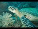 Green Sea Turtle on Great Barrier Reef