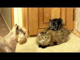 Шиншилла, кошка и собака