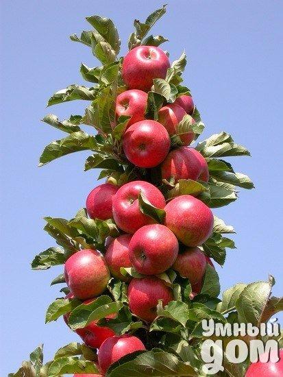 Колоновидные яблони. Этот сорт яблок появился случайно, в следствие природной мутации. Случилось это 1960 году, когда канадский садовод Важек обнаружил на дереве известного сорта «Макинтош» необычную ветку, отличающуюся по строению от других. Взяв с нее почки для размножения, он получил первый сорт колоновидной яблони «Макинтош Важек».Отличительной чертой колоновидных сортов являются утолщенные побеги с укороченными междоузлиями. Благодаря этой особенности листья располагаются близко друг к…