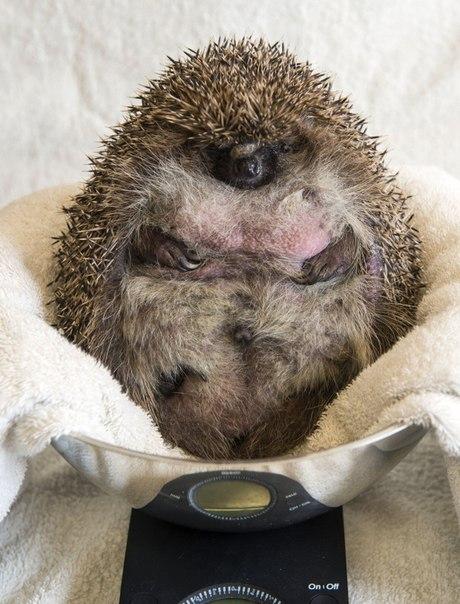 У Британії їжака-товстуна посадили на дієту через нездатність згорнутися в клубок - фото 1