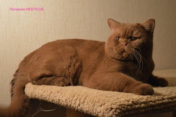 Британские коты вязка в спб