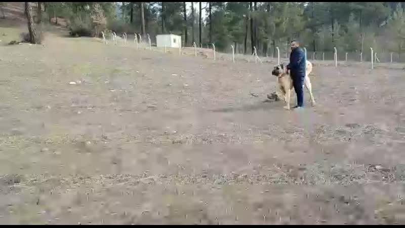 Türkoğlu Yeşil Yöreden Tosun Aga vs Göksünden Karabas