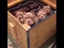 Bully puppies / Щенки Булли
