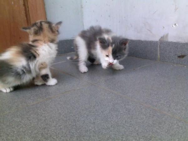 Кошки трёхцветные