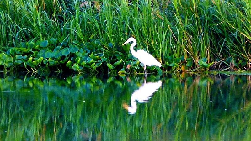 Футаж Белая Цапля. Красивая Белая Цапля в Воде. Большая Белая Цапля Видео. Футажи для видеомонтажа