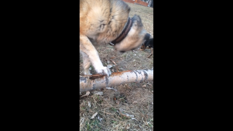 Собака короед или безупречный рубанок :)