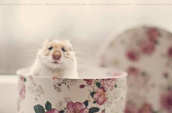 Olga Kryvoshei #hamster
