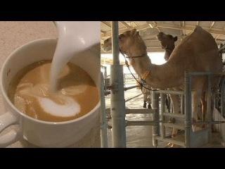 Латте с верблюжьим молоком