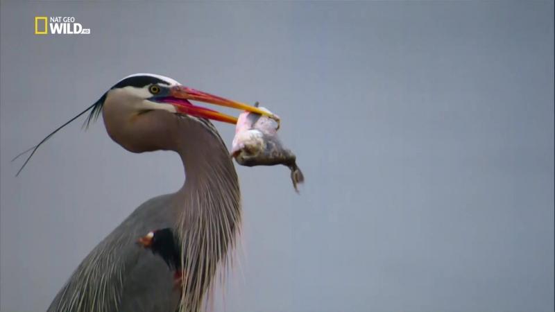 National Geographic Птичья популяция (2018) HD 1080