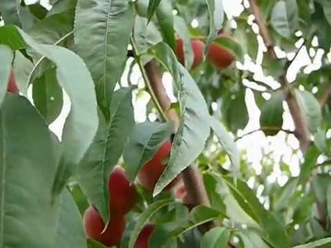 Сорт персика Фиделия
