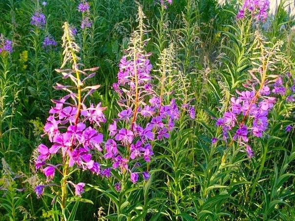 Пчелиная пыльца для повышения потенции photo 1