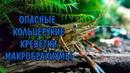 ОПАСНЫЕ КОЛЬЦЕРУКИЕ КРЕВЕТКИ МАКРОБРАХИУМЫ. Macrobrachium assamense