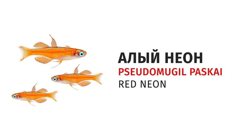 Алый неон / Pseudomugil paskai Red Neon