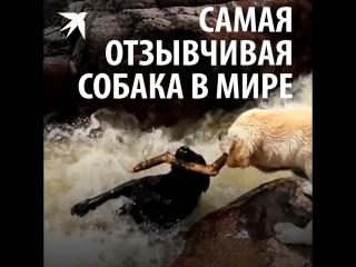 Самая отзывчивая собака в мире