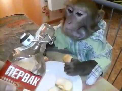 ЭТО РОССИЯ! Мужик наливает обезьянке водку и беседует о стране