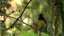 King-of-Saxony Bird-of-Paradise coub