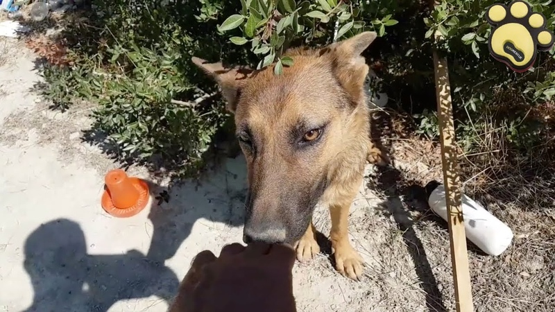 Rescue Of An Abandoned German Shepherd | Dog Rescue Stories