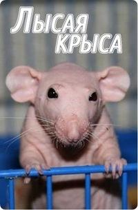 лысая крыса. фото