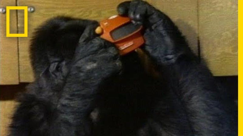 Watch Koko the Gorilla Use Sign Language in This 1981 Film National Geographic