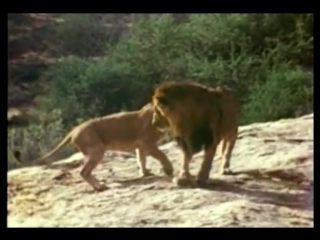У любви нет границ (хорошее настроение, семья, дружба, животные, лев, львица, прайд, львенок, звери, хищник, зверь, человек).