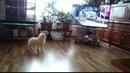 Шпиц Молли (4,5 мес.) смотрит Ютуб и волнуется / Мои ЗооНяшки