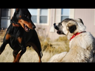Doberman vs. Kangal