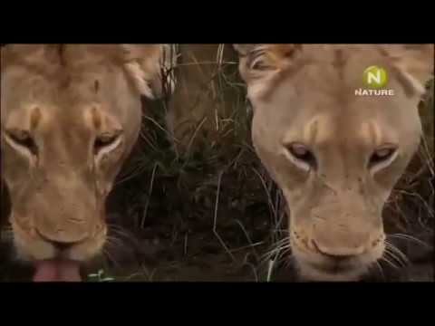 Животный мир Южной Африки Странные гены белого льва Терпение и тишина охоты Запах белого прайда