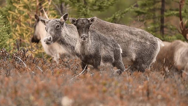 La Première Nation du Lac-Simon organise la protection du caribou au Québec