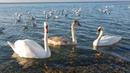 АНАПА - лебеди на пляже высокий берег 14.11.2018