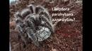 Кокон дубль у Lasiodora parahybana