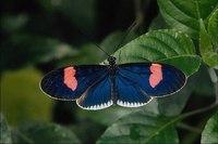 Здесь представлены многие известные энтомологам экземпляры.  Хотя эта маленькая бабочка и окрашена не так ярко как ее...