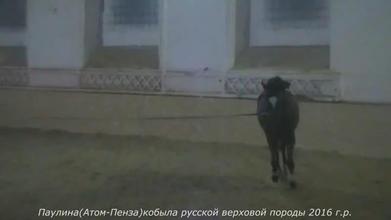 Паулина(Атом-Пенза)кобыла русской верховой породы 2016 г.р.