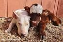 Спасенная миниатюрная корова…