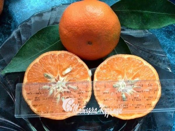 C. deliciosa Fortune C. clementina Fortune Tangelo Ugli
