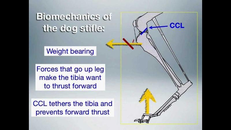 Биомеханика коленного сустава у собаки / BIomechanics of the dog stifle