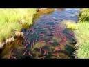 Sungai Jernih Penuh Dengan Ikan Salmon Merah