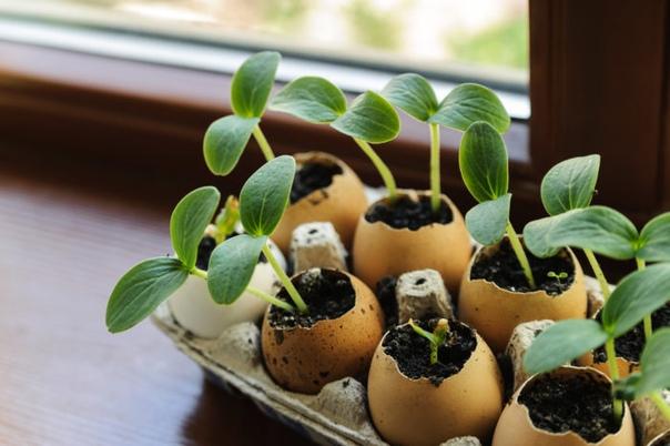 5 оригинальных способов выращивания рассады: плюсы и минусы. «Сажаем семена в торфяные стаканы вот и весь способ», - скажет начинающий садовод. На самом же деле существует много методов того,